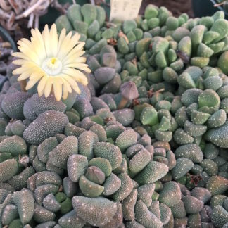 Aloinopsis luckhoffii mesemb shown flowering