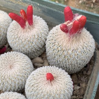 Epithelantha micromeris cactus shown flowering