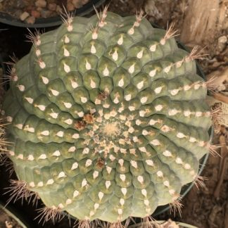 Matucana celendinensis cactus shown flowering